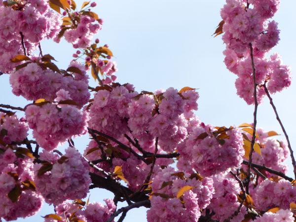 Radeln ohne Alter Bonn_Kirschblüte Bonn